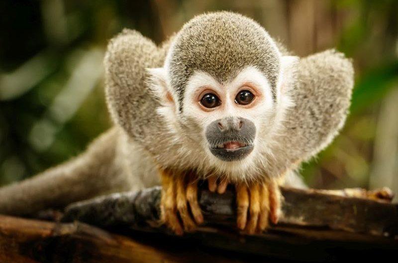 Nằm mơ thấy khỉ là điềm gì, đánh con gì?