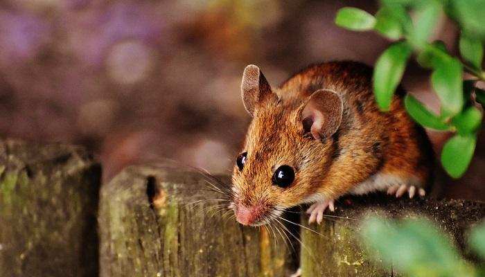 Mơ thấy chuột là điềm báo gì? Nên làm gì khi mơ thấy chuột?