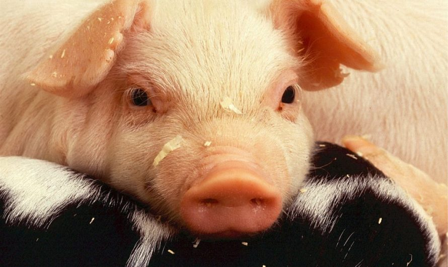 Những giấc mơ thấy con lợn là điềm báo tốt hay xấu?