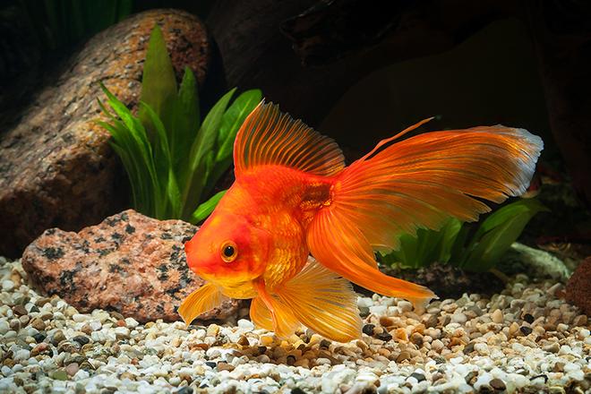 Mơ thấy cá vàng là điềm báo gì? Nên làm gì khi gặp giấc mơ này?