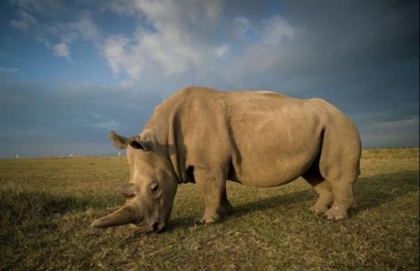 Nằm mơ thấy tê giác có ý nghĩa như thế nào, đánh số mấy?