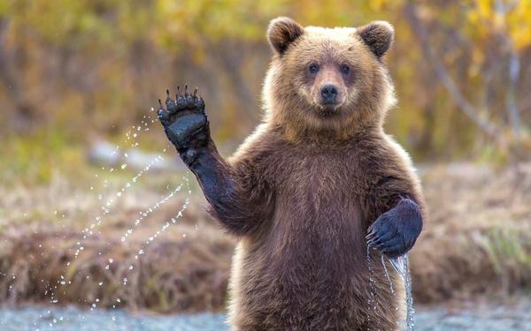 Nằm mơ thấy gấu có điềm lành hay dữ, Gấu là số mấy?